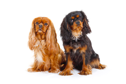 DOG 09 PE0024 01 © Kimball Stock Two Cavalier King Charles Spaniels Sitting On White Seamless