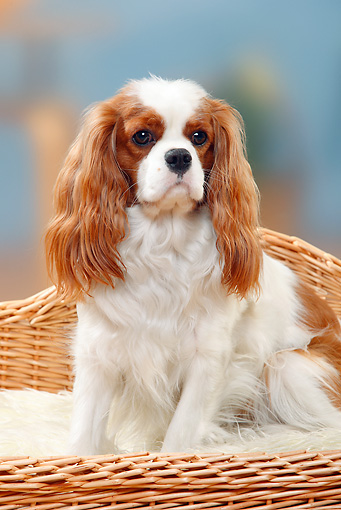 DOG 09 PE0030 01 © Kimball Stock Cavalier King Charles Spaniel Sitting In Wicker Dog Bed