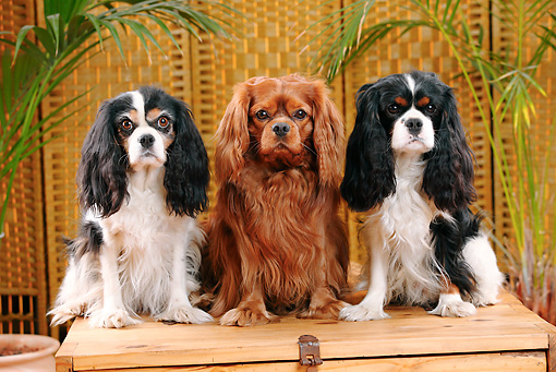 DOG 09 PE0031 01 © Kimball Stock Three Cavalier King Charles Spaniels Sitting On Wooden Bench