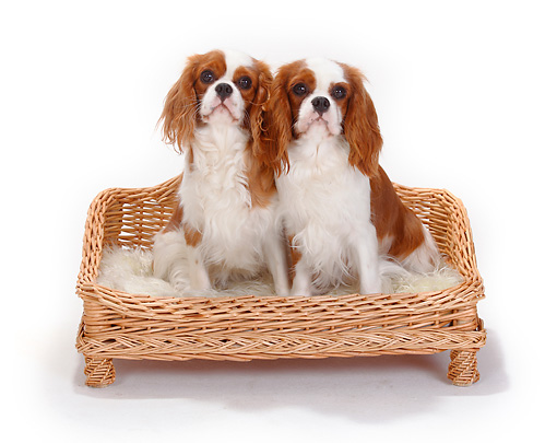 DOG 09 PE0033 01 © Kimball Stock Two Cavalier King Charles Spaniels Sitting In Dog Bed On White Seamless