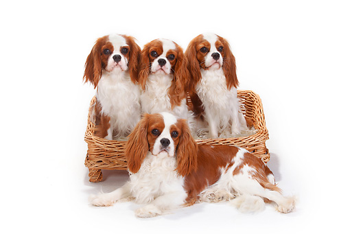 DOG 09 PE0034 01 © Kimball Stock Four Cavalier King Charles Spaniels Sitting In Dog Bed On White Seamless