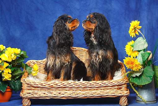 DOG 09 PE0036 01 © Kimball Stock Two Cavalier King Charles Spaniels Sitting In Dog Bed In Blue Studio By Flowers