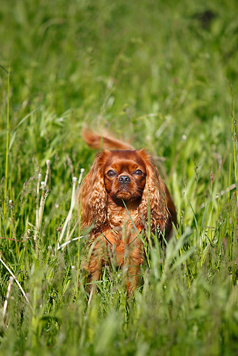 DOG 09 PE0038 01 © Kimball Stock Cavalier King Charles Spaniel Standing In Tall Grass