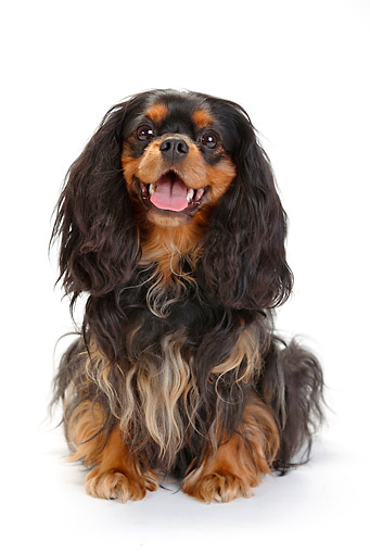 DOG 09 PE0039 01 © Kimball Stock Cavalier King Charles Spaniel Sitting On White Seamless