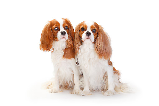 DOG 09 PE0040 01 © Kimball Stock Two Cavalier King Charles Spaniels Sitting On White Seamless
