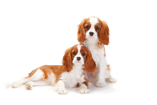 DOG 09 PE0041 01 © Kimball Stock Two Cavalier King Charles Spaniels On White Seamless