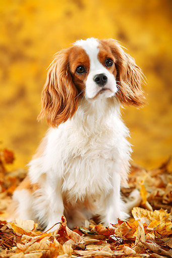 DOG 09 PE0042 01 © Kimball Stock Cavalier King Charles Spaniel Sitting In Autumn Leaves