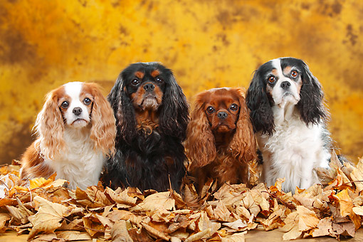 DOG 09 PE0043 01 © Kimball Stock Four Cavalier King Charles Spaniels Sitting In Autumn Leaves