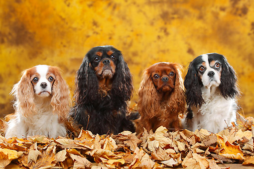 DOG 09 PE0044 01 © Kimball Stock Four Cavalier King Charles Spaniels Sitting In Autumn Leaves