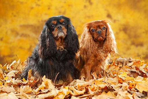 DOG 09 PE0045 01 © Kimball Stock Two Cavalier King Charles Spaniels Sitting In Autumn Leaves