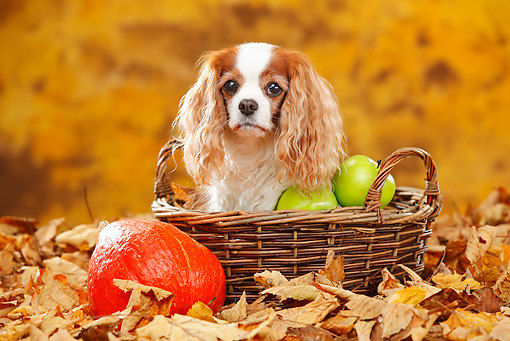 DOG 09 PE0047 01 © Kimball Stock Cavalier King Charles Spaniel Sitting In Basket With Apples, Gourd And Autumn Leaves