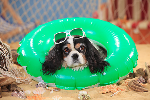 DOG 09 PE0049 01 © Kimball Stock Cavalier King Charles Spaniel Laying In Inner Tube On Beach