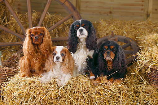 DOG 09 PE0051 01 © Kimball Stock Four Cavalier King Charles Spaniels On Hay Bale