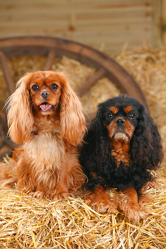 DOG 09 PE0053 01 © Kimball Stock Two Cavalier King Charles Spaniels Sitting On Hay Bale By Old Wheel