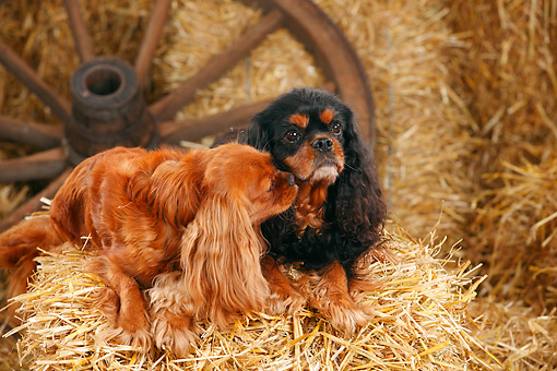 DOG 09 PE0054 01 © Kimball Stock Two Cavalier King Charles Spaniels Laying On Hay Bale By Old Wheel