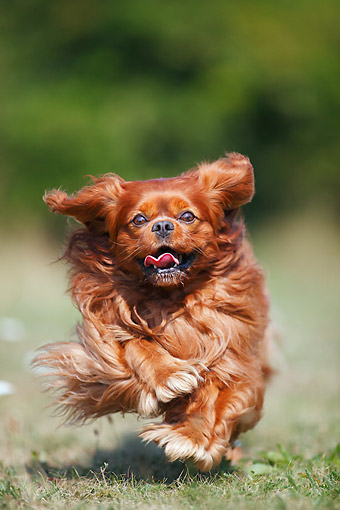 DOG 09 PE0055 01 © Kimball Stock Cavalier King Charles Spaniel Running Wildly On Grass