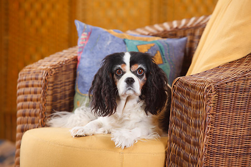 DOG 09 PE0056 01 © Kimball Stock Cavalier King Charles Spaniel Tricolor Female Laying In Armchair