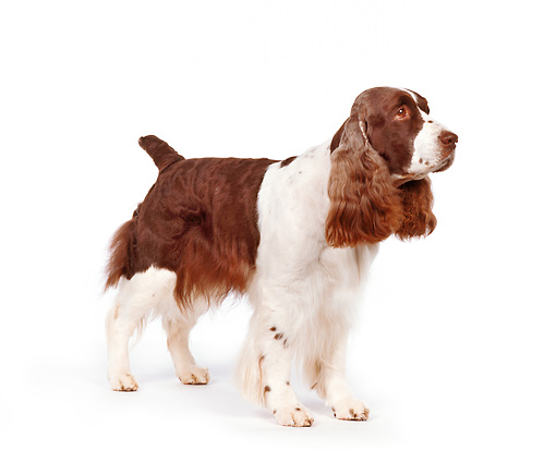 DOG 09 RK0006 03 © Kimball Stock English Springer Spaniel Standing Facing Camera On White Seamless Background