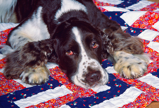 DOG 09 RK0022 05 © Kimball Stock Head Shot Of Springer Spaniel Dog Laying On Quilt