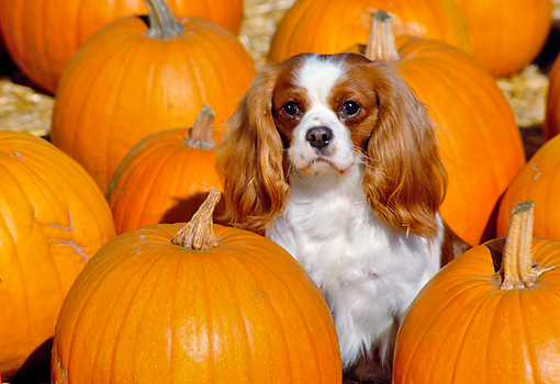 DOG 09 RK0025 02 © Kimball Stock Cavalier King Charles  Spaniel Sitting In Pumpkin Patch