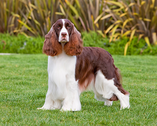 DOG 09 RK0087 01 © Kimball Stock English Springer Spaniel Standing On Lawn