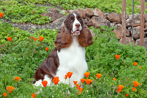 DOG 09 RK0088 01 © Kimball Stock English Springer Spaniel Sitting In Orange Poppies