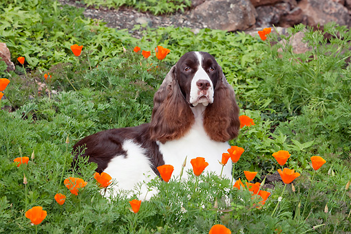 DOG 09 RK0089 01 © Kimball Stock English Springer Spaniel Laying In Orange Poppies