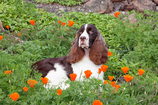 DOG 09 RK0090 01 © Kimball Stock English Springer Spaniel Laying In Orange Poppies