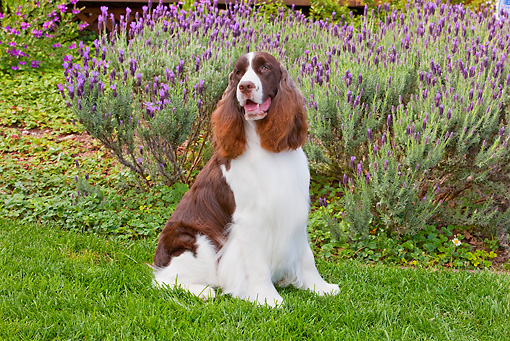 DOG 09 RK0092 01 © Kimball Stock English Springer Spaniel Sitting On Lawn By Lavender Flowers