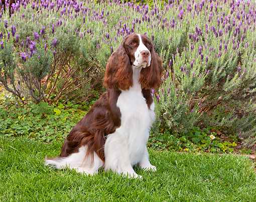DOG 09 RK0093 01 © Kimball Stock English Springer Spaniel Sitting On Lawn By Lavender Flowers