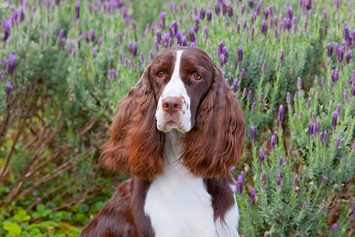 DOG 09 RK0094 01 © Kimball Stock Head Shot Of English Springer Spaniel Sitting By Lavender Flowers