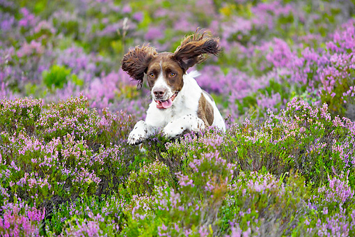 DOG 09 WF0001 01 © Kimball Stock English Springer Spaniel Running Through Heather Moor