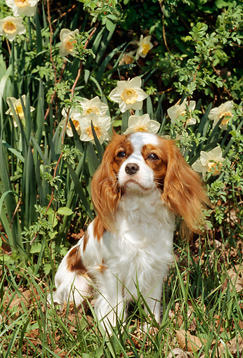 DOG 09 CE0003 01 © Kimball Stock Cavalier King Charles Spaniel Sitting On Grass By Flowers