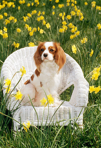 DOG 09 CE0005 01 © Kimball Stock Cavalier King Charles Spaniel Sitting In White Wicker Chair By Flowers