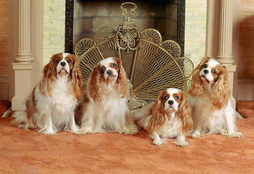 DOG 09 CE0006 01 © Kimball Stock Four Cavalier King Charles Spaniels Sitting By Fireplace