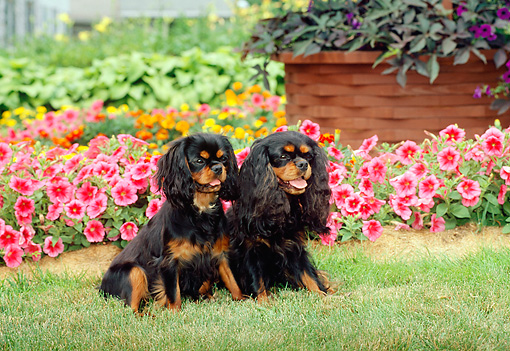 DOG 09 CE0007 01 © Kimball Stock Two Cavalier King Charles Spaniels Sitting On Grass By Pink Flowers