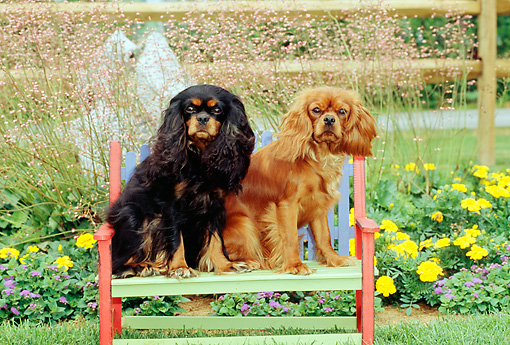 DOG 09 CE0008 01 © Kimball Stock Two Cavalier King Charles Spaniels Sitting On Bench By Flower Garden