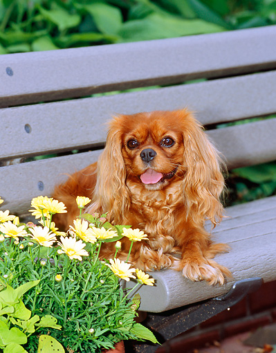 DOG 09 CE0009 01 © Kimball Stock Cavalier King Charles Spaniel Laying On Bench By Flowers