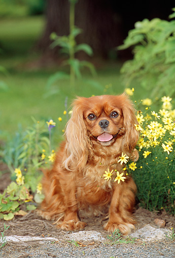 DOG 09 CE0010 01 © Kimball Stock Cavalier King Charles Spaniel Sitting By Yellow Flowers