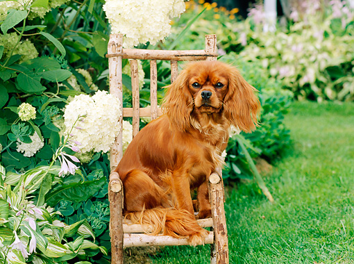 DOG 09 CE0011 01 © Kimball Stock Cavalier King Charles Spaniel Sitting On Wooden Chair In Flower Garden