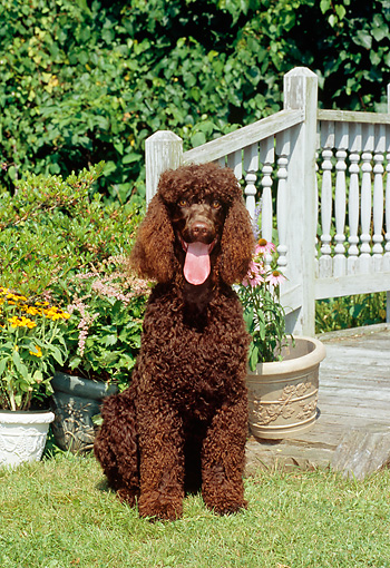 DOG 09 CE0015 01 © Kimball Stock Irish Water Spaniel Sitting On Grass By Flowers And Porch Railing