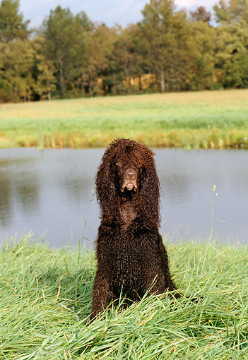 DOG 09 CE0016 01 © Kimball Stock Irish Water Spaniel Sitting In Grass By Pond And Trees