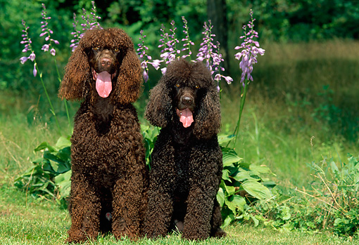 DOG 09 CE0017 01 © Kimball Stock Two Irish Water Spaniels Sitting On Grass By Lavender Flowers