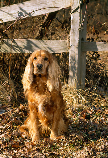 DOG 09 CE0018 01 © Kimball Stock English Cocker Spaniel Sitting On Autumn Leaves By Wooden Fence
