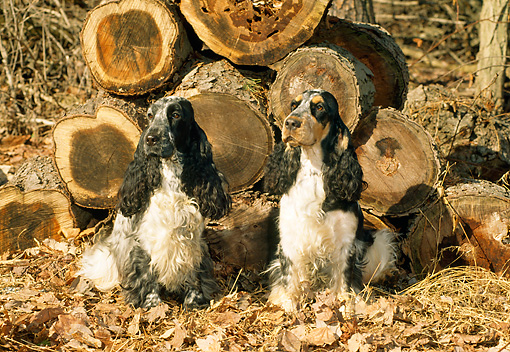 DOG 09 CE0020 01 © Kimball Stock Two English Cocker Spaniels Sitting On Autumn Leaves By Woodpile
