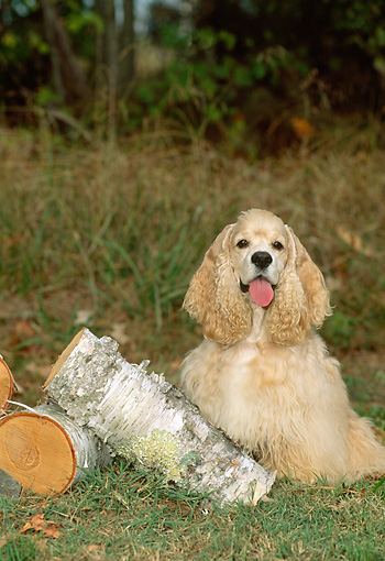 DOG 09 CE0022 01 © Kimball Stock American Cocker Spaniel Sitting By Birch Logs