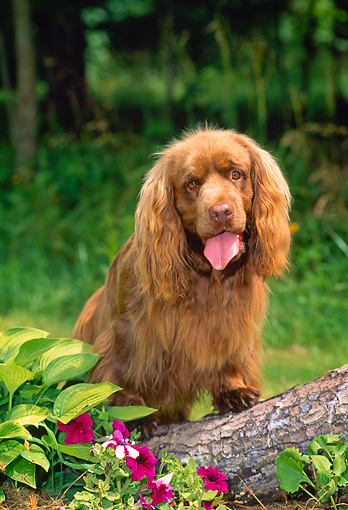 DOG 09 CE0030 01 © Kimball Stock Sussex Spaniel Sitting In Grass By Log And Flowers