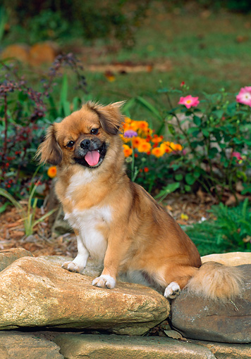 DOG 09 CE0031 01 © Kimball Stock Tibetan Spaniel Puppy Sitting On Rocks By Flowers In Garden