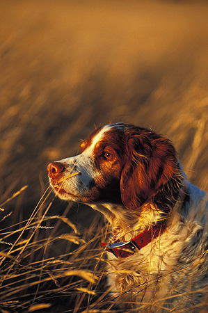 DOG 09 DB0001 01 © Kimball Stock Profile Head Shot Of A Brittany Sitting In Tall Grass