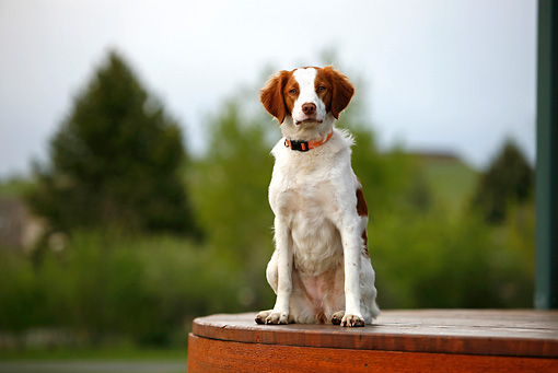 DOG 09 DB0002 01 © Kimball Stock Brittany Spaniel Sitting On Wooden Platform